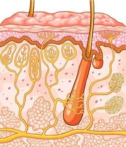 تصویر فولیکول مو در چرخه رشد مو